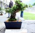 Rhododendron - 2010 - Bonetti Luigi