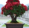 Rhododendron - 2010- Bonetti Luigi