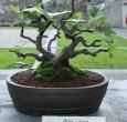 Ficus carica - 2010- Bonetti Luigi