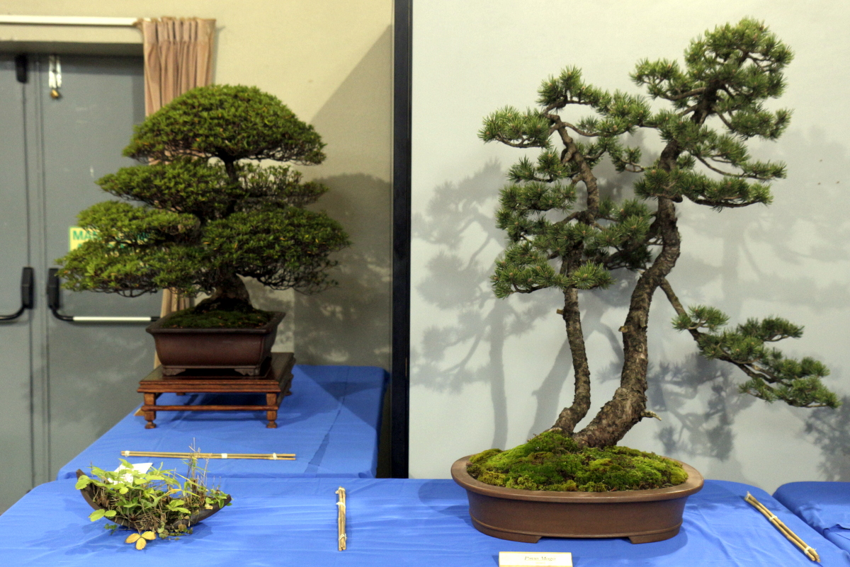Circolo bonsai lecco for Dove comprare bonsai