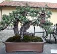 Pinus sylvestris - 2010 - Proserpio Carlo