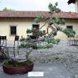 Pinus mugo - 2010 - Proserpio Carlo