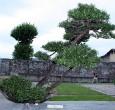 Pinus mugo 2010 - Tizzoni Felice