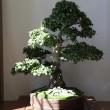 Mostra bonsai Villa Greppi 2013