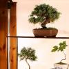 Fotografare i bonsai