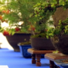 Mostra bonsai a Malgrate